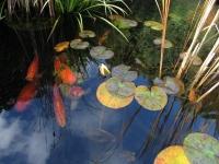 koi pond water